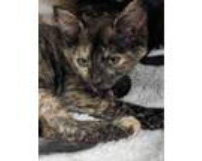 Adopt Agnetha a All Black Domestic Shorthair / Domestic Shorthair / Mixed cat in