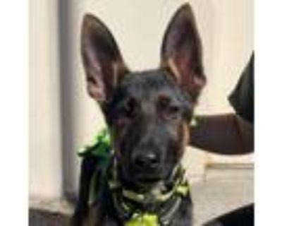 Adopt NOVA a German Shepherd Dog