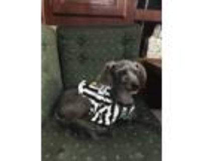 Adopt Kuke a Black - with Gray or Silver Poodle (Toy or Tea Cup) / Shih Tzu /