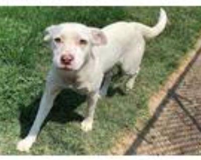 Adopt a White Labrador Retriever / Mixed dog in Modesto, CA (32030027)