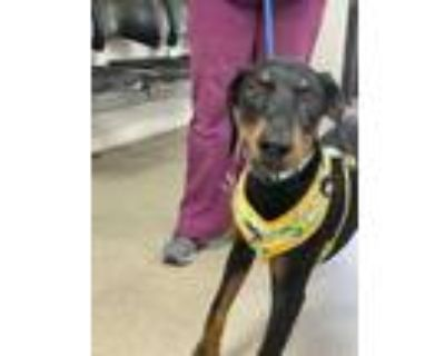 Adopt 48301380 a Black Doberman Pinscher / Mixed dog in Fort Worth