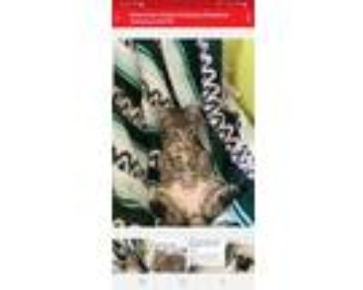 Adopt Bell a Brown or Chocolate Maine Coon / Mixed (medium coat) cat in Buena