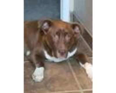 Adopt Newman a Brown/Chocolate - with White St. Bernard / Pit Bull Terrier dog