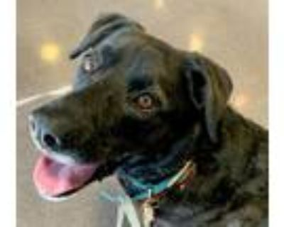 Adopt Charlie a Black - with White Labrador Retriever / Mixed dog in Phoenix