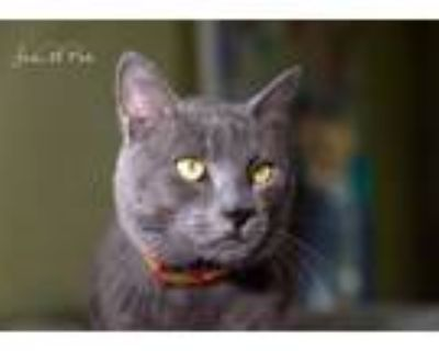Adopt Baylor a Domestic Short Hair, American Shorthair
