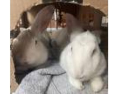 Adopt Mary Kate a White New Zealand / Mixed rabbit in Woburn, MA (31432573)