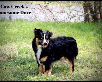 Australian Shepherd Puppy for Sale - Newt