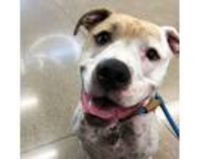 Adopt Tank a White - with Tan, Yellow or Fawn American Staffordshire Terrier /