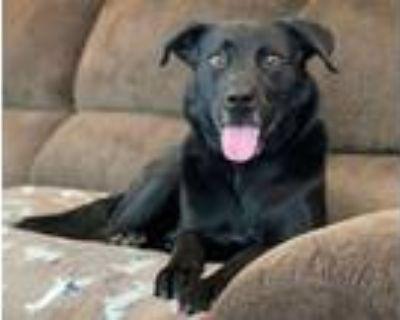Adopt Hunter a Black Labrador Retriever