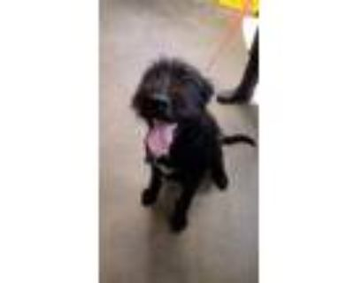 Adopt Bella a Labradoodle, Pit Bull Terrier