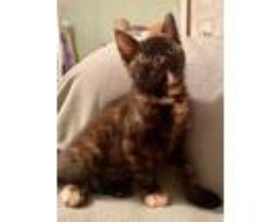 Adopt Calista a Domestic Short Hair, Tortoiseshell