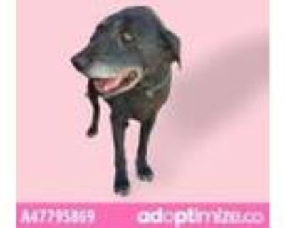 Adopt STELLA a White Labrador Retriever / Mixed dog in El Paso, TX (31524172)
