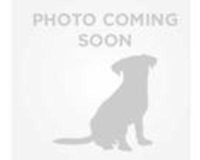 Adopt BARON a Tan/Yellow/Fawn Chow Chow / Mixed dog in Phoenix, AZ (31896934)