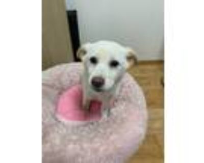 Adopt Pennie a Tan/Yellow/Fawn Jindo / Mixed dog in Beverly Hills, CA (31463191)