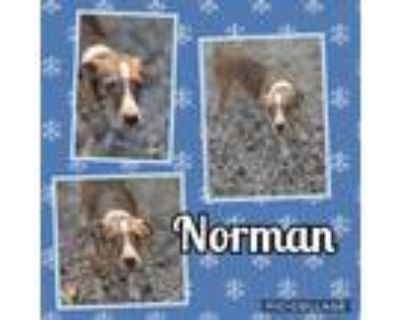 Adopt Norman a Terrier