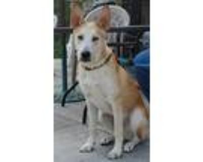 Adopt Hudson a White - with Tan, Yellow or Fawn Husky / Shepherd (Unknown Type)
