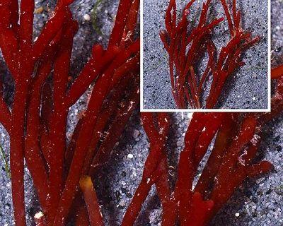 Red Bamboo Algae Wanted