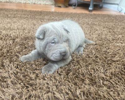 Shar-pei blue male puppy
