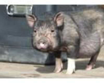 Adopt Penny a Pig (Potbellied) farm-type animal in Kerhonkson, NY (29963912)