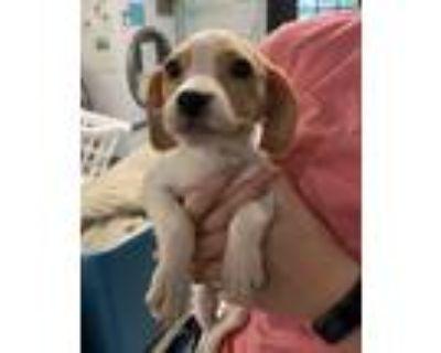 Adopt Tiny a Hound