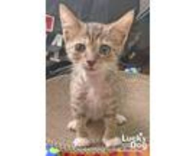 Adopt Paysleigh a Brown Tabby Domestic Shorthair / Mixed (short coat) cat in