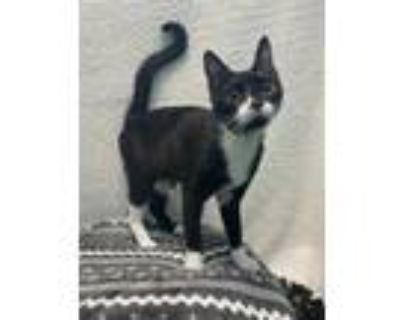 Adopt Rey a All Black Domestic Shorthair / Domestic Shorthair / Mixed cat in New