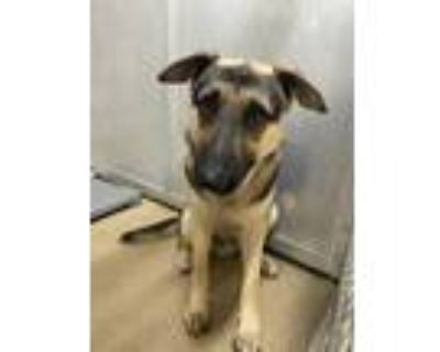 Adopt Rocky a Brown/Chocolate German Shepherd Dog / Mixed dog in Fort Worth