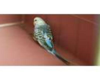 Adopt A097070 a Parakeet (Other)