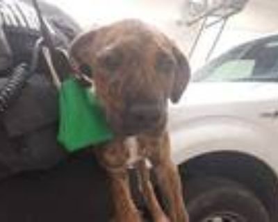 Adopt GOOCH a Brindle American Pit Bull Terrier / Mixed dog in Olivette