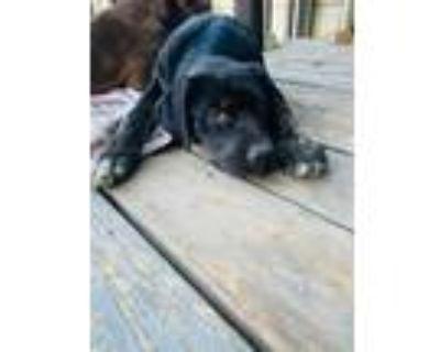 Adopt Delilah a Doberman Pinscher, Pit Bull Terrier