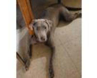 Adopt Bam Bam #5 a Chocolate Labrador Retriever