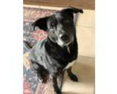 Adopt Penny a Black - with White Labrador Retriever / American Pit Bull Terrier