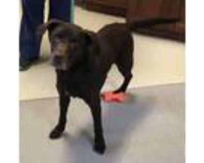 Adopt Elliot a Chocolate Labrador Retriever
