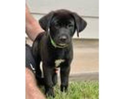 Morty, Labrador Retriever For Adoption In Boulder, Colorado