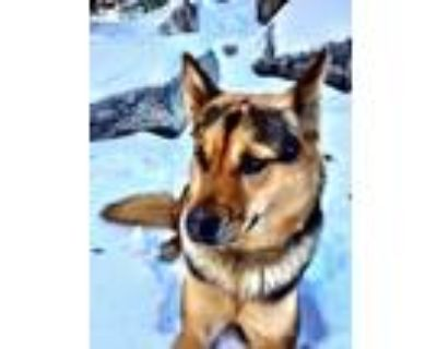 Adopt Penny a Black - with Tan, Yellow or Fawn German Shepherd Dog / Mixed dog