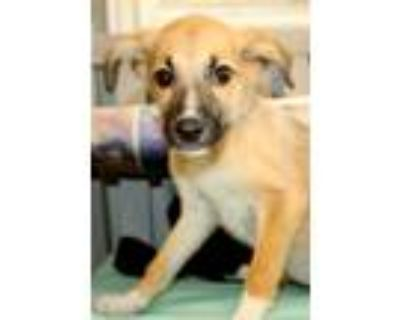 Adopt Madoko a Brown/Chocolate - with Black Mountain Cur / Husky / Mixed dog in