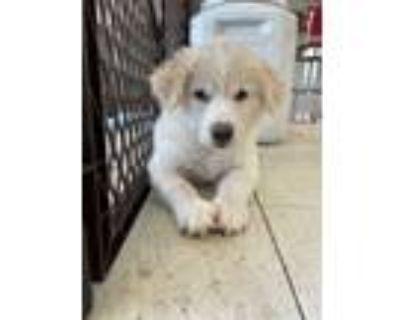 Adopt GW a White - with Tan, Yellow or Fawn Border Collie / Labrador Retriever /