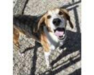 Adopt McGruff a Brown/Chocolate Hound (Unknown Type) / Mixed dog in Norfolk