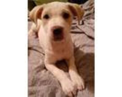 Adopt Sissy a White - with Tan, Yellow or Fawn Labrador Retriever / American Pit