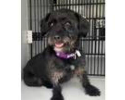 Adopt CASSIE a Black Norfolk Terrier / Mixed dog in Houston, TX (32142400)