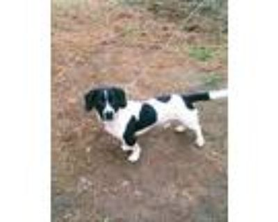 Adopt Kuiper a Black - with White Basset Hound / Mixed dog in Mabelvale