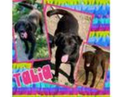 Adopt Talia a Black Labrador Retriever, Hound