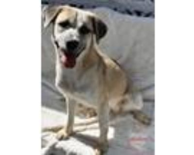 Adopt Chiquilla a Husky, Rottweiler