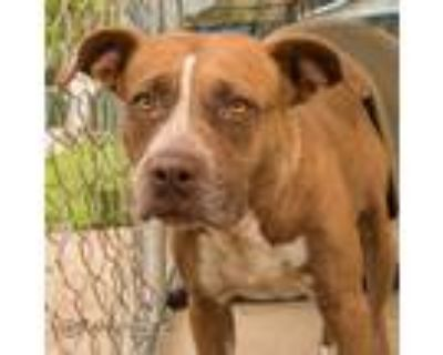 Adopt Sunny a Red/Golden/Orange/Chestnut Pit Bull Terrier / Mixed dog in