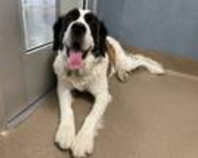 Adopt Fi a Tricolor (Tan/Brown & Black & White) St. Bernard / Mixed dog in Vail