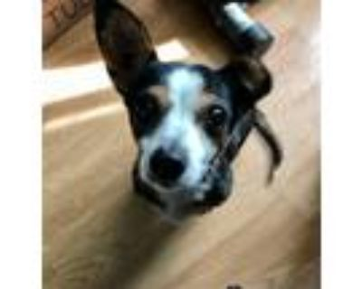Adopt Nemo a Tricolor (Tan/Brown & Black & White) Rat Terrier / Mixed dog in
