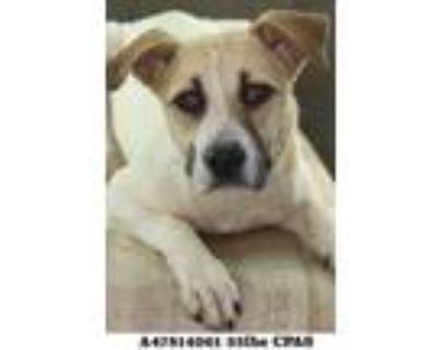 Adopt Ivory a White American Pit Bull Terrier / Mixed dog in Shreveport