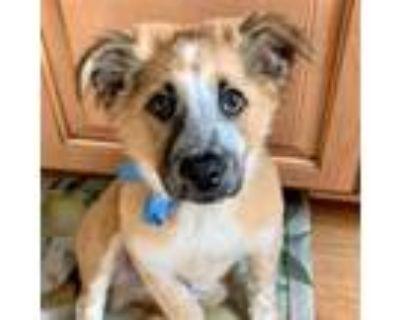 Adopt Cheetos a Australian Shepherd, Australian Cattle Dog / Blue Heeler