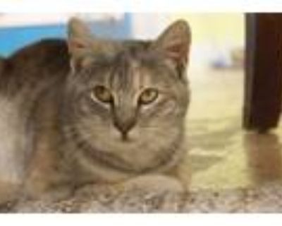 Adopt Quinn a Calico or Dilute Calico Calico (short coat) cat in New Richmond,