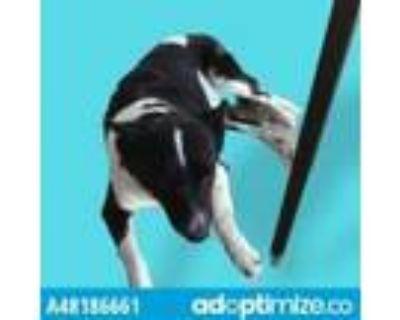 Adopt 48186661 a Black Border Collie / Mixed dog in El Paso, TX (32003855)